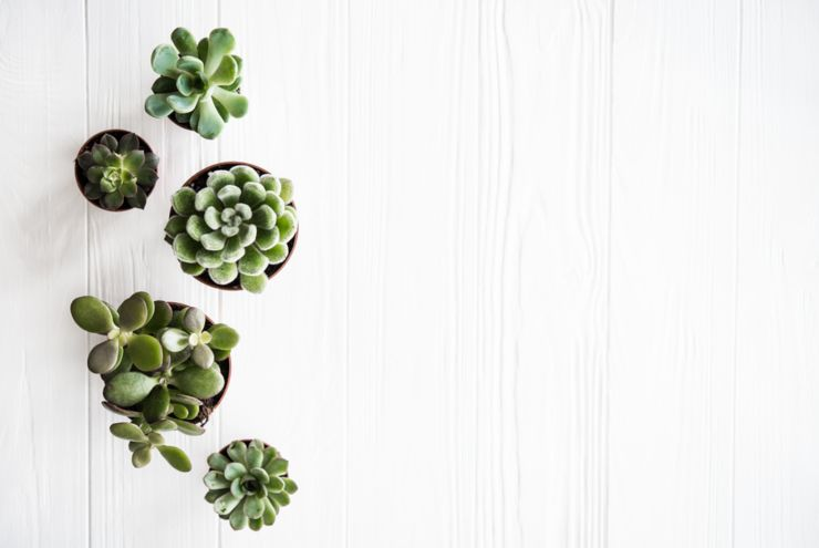 Green house plants potted, succulentson clean white wooden background. Home gardening, close-up with copyspace. Scandinavian rustic style decor.