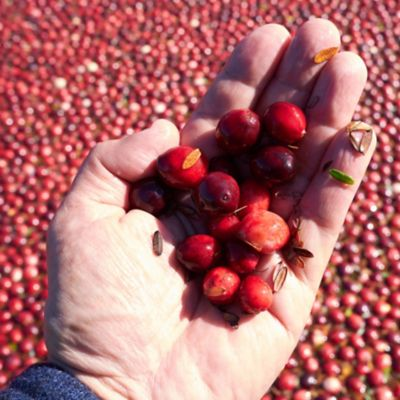Harvest ripe Cranberries